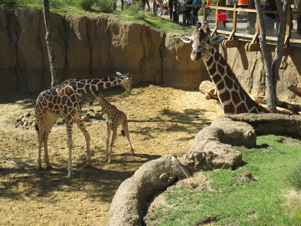 Giraffes au Zoo de Dallas